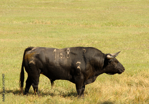 Fotobehang Stierenvechten A real black bull of bullfight in field