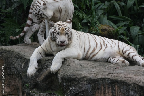 In de dag Tijger white tiger 3