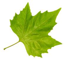 Brightly Green Maple Leaf