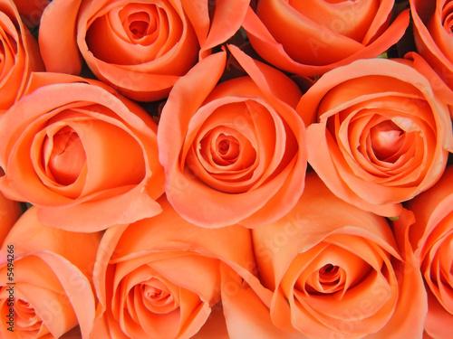 Fotorollo basic - Background from coral roses (von stta)
