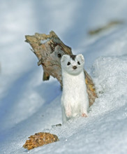 Weasel ( Mustela Nivalis Nival...