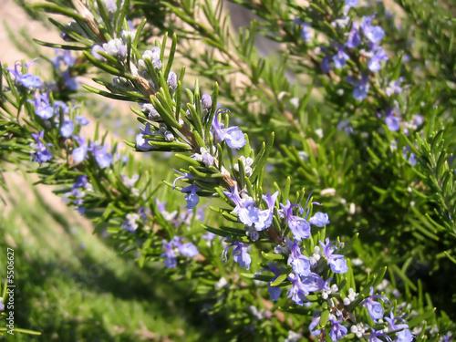 Fotografie, Obraz  flowering rosemary