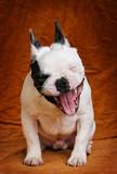 Fototapeta Dogs - rire de chien bouledogue français