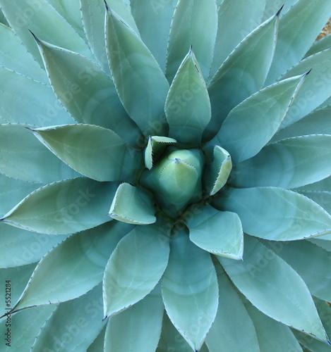 Foto op Canvas Cactus Agave Plant