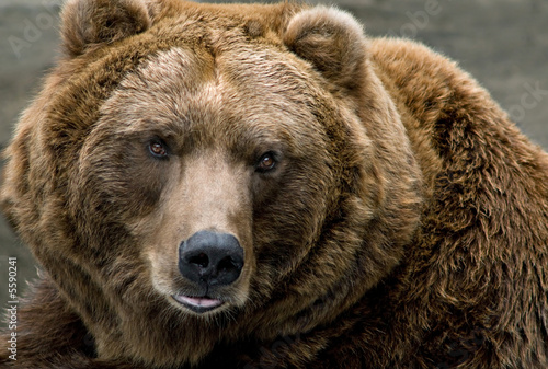 Brown Bear (Ursus arctos) Canvas Print
