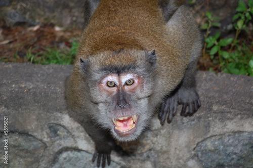 Foto op Aluminium Aap Angry monkey