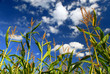 canvas print picture Farm field with growing corn under blue sky