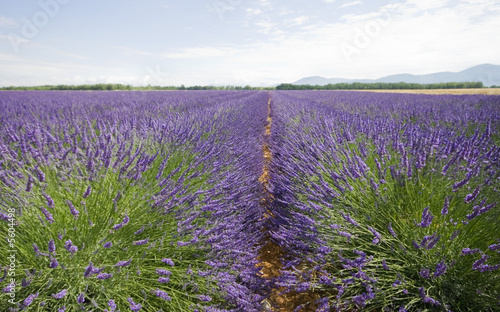Tuinposter Lavendel Champs031