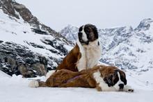 St. Bernardine Dogs, Swiss Alps
