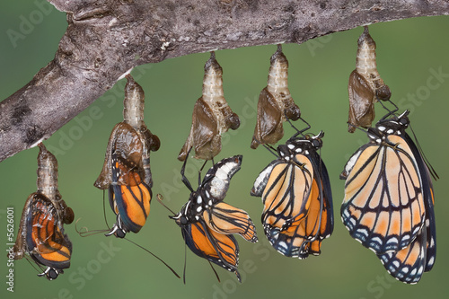 In de dag Vlinder Viceroy butterfly emerging