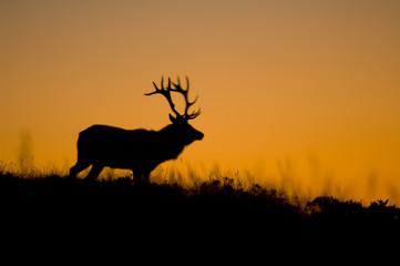 Thule_elk_california