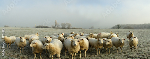 Foto op Canvas Schapen moutons