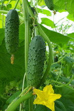 Cucumber Growing On A Vine In A Rural Green House