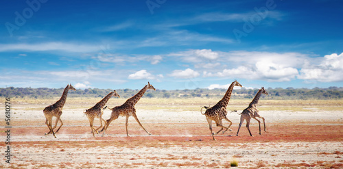 In de dag Giraffe Herd of giraffes in african savanna, Etosha N.P., Namibia