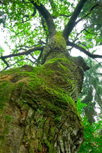 Tremendous Oak Tree - Mazury, Poland.