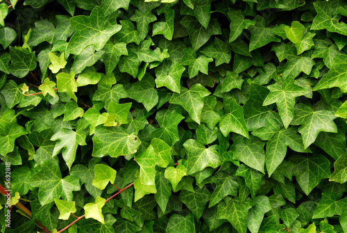 Obraz na plátně Abstract background of lush green ivy leaves