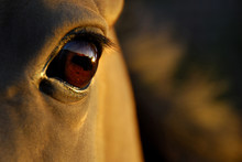 Horse's Eye At Sunset