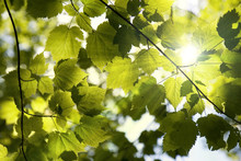 Sunlight Filtering Through A Canopy Of Young Maple Leaves