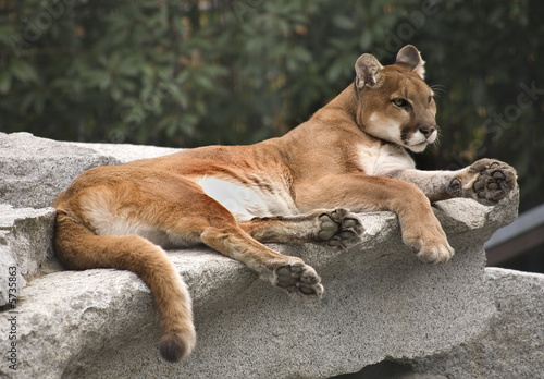 Staande foto Puma America Cougar Mountain Lion Resting on Rock