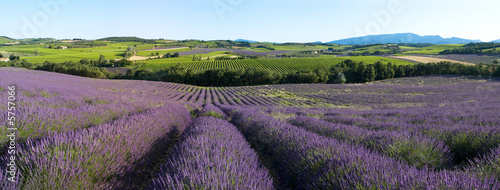 Photo Stands Lavender panoramique - Champ de lavande en Provence