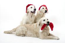Christmass Dogs