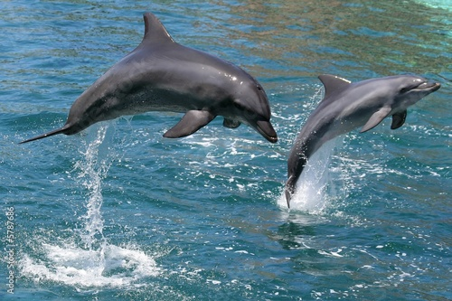 Stampa su Tela Bottlenose dolphins leaping out of the water