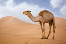 Lone Camel In The Desert  Sand...