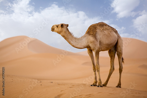 Spoed Foto op Canvas Kameel Lone Camel in the Desert sand dune with blue sky