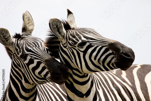 Canvas Prints Zebra zebras