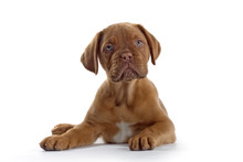 Bordeaux Dog, French Mastiff ...