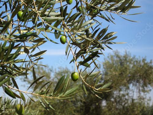 Foto op Canvas Olijfboom olive tree leaves and olives