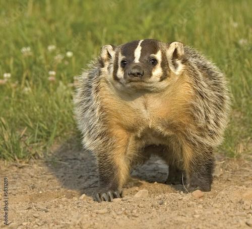 Badger at his den. Photographed in Northern Minnesota Fototapeta