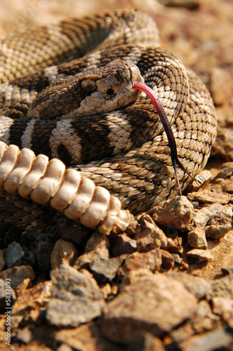 close-up of northern pacific rattlesnake tongue and rattle - Buy