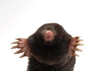 Townsend's Mole Half Body Fron...