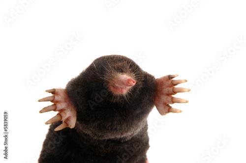 Fototapeta townsends mole front view slight angle