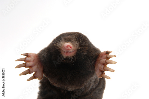 Fotografie, Obraz  townsend's mole half body front view showing feet and claws