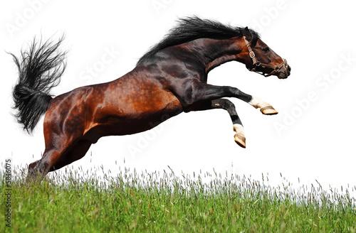 Fototapeta arabian stallion jumps - isolated on white obraz