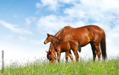 Fototapeta mare and foal in a field - realistic photomontage obraz