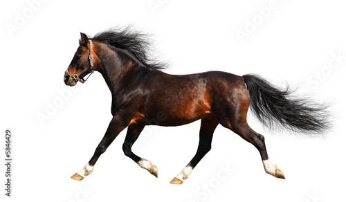 Fototapeta arabian stallion trots - isolated on white obraz