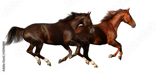 Foto op Canvas Paarden budenny horses gallop - isolated on white