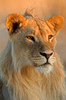canvas print picture - Young male lion (Panthera leo)