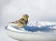 American Goldfinch On A Heated...