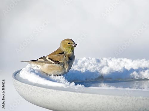 American Goldfinch on a heated birdbath Canvas Print