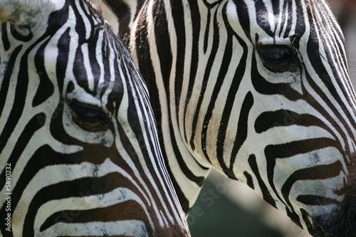 Poster Zebra African Zebra
