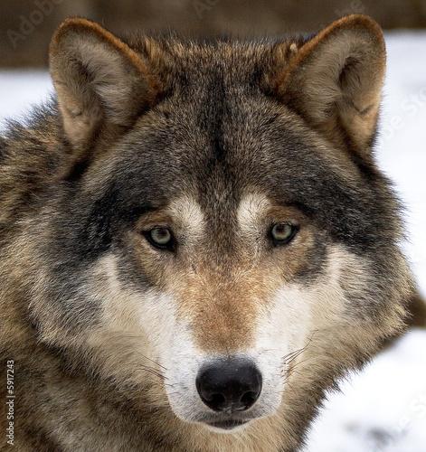 Obraz na plátně Wolf