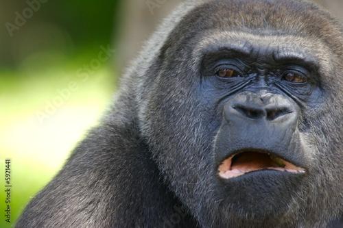 Western Lowland Gorillas Canvas-taulu