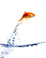 Goldfish Jumping Out Of The Wa...