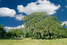 A Great Southern Oak Tree