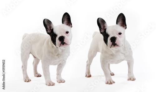 Poster Bouledogue français 2 chiens bouledogue français sur fond blanc