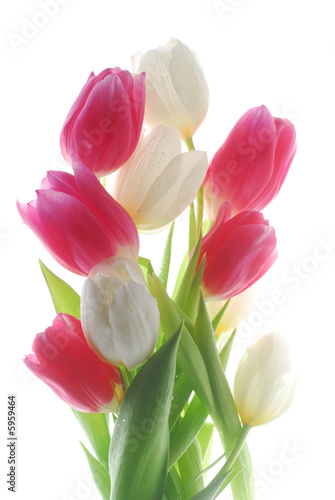 Wall Murals Tulip red and pink tulips